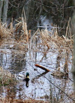 Mallards are everywhere around here!