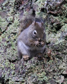 Local Brown Squirrel