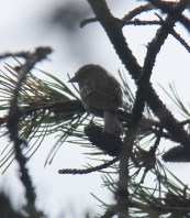 Tiny and hidden - flitting about overhead