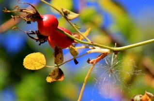 Fall Seeds, Rosehips and Thistle down.