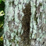 Bee Tree 2011-07-23