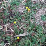 Dandelions blooming in the side ditch 12/06/2012.