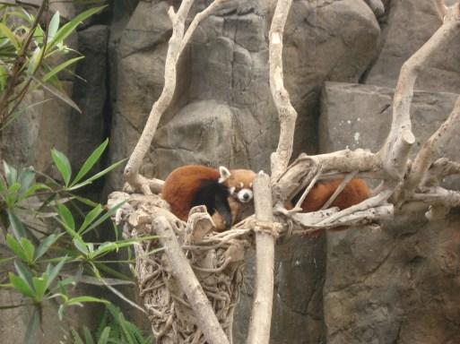 Red Panda at Ocean Park