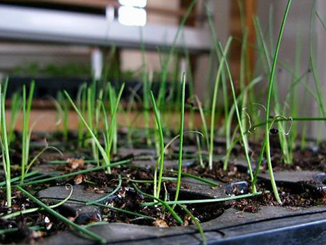 Посадка лука порея рассадой. Как вырастить рассаду лука-порея: от посева до сбора урожая. Лук порей выращивание из семян