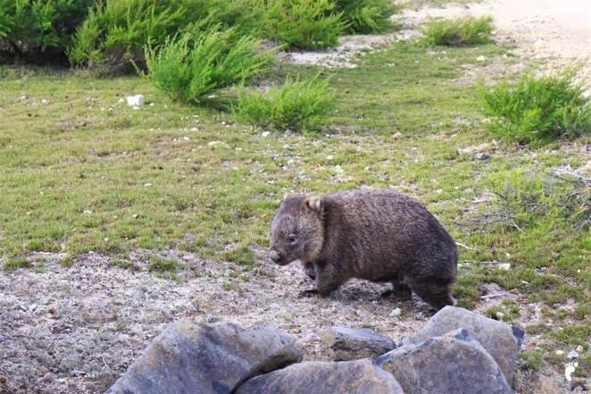 wombat-tasmanie_GF