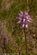 Orchis italica, já com as flores abertas