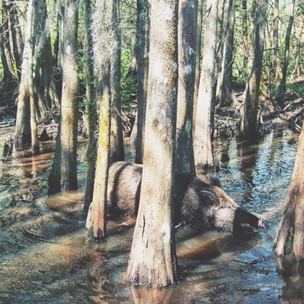 Wild Pig in Louisiana Swamp