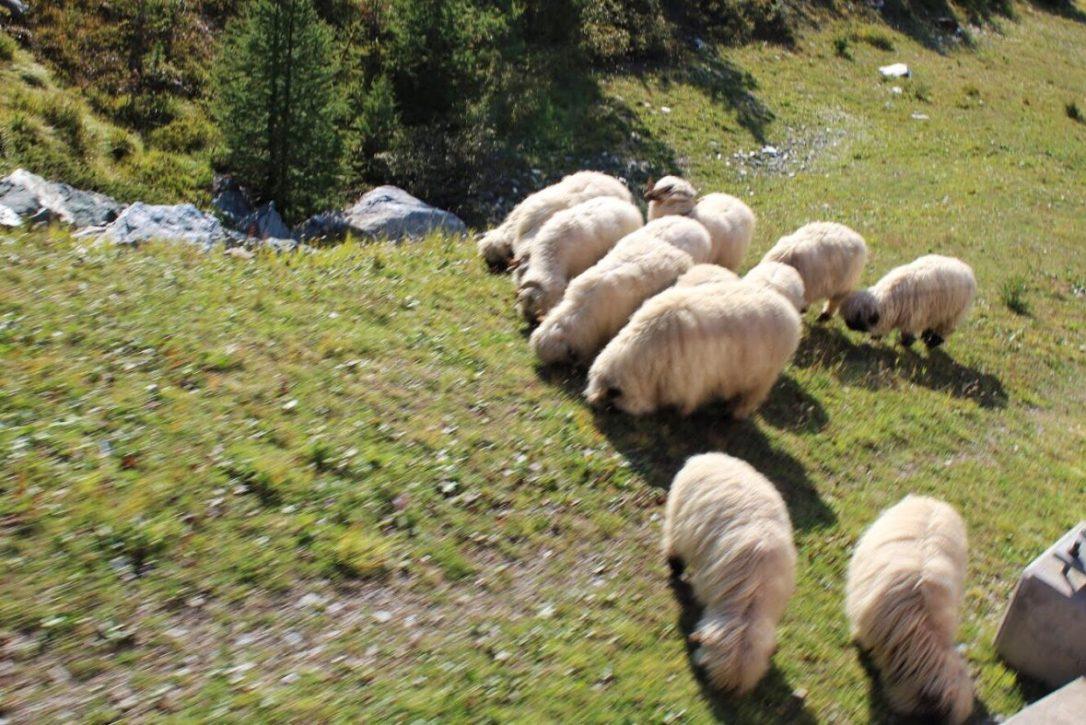 Black nosed sheep in Zermatt Switzerland