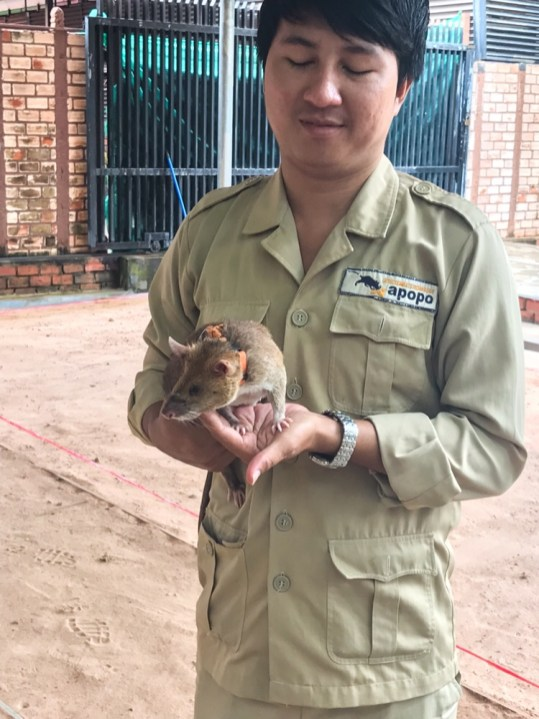 APOPO Hero rat in Siem Reap Cambodia