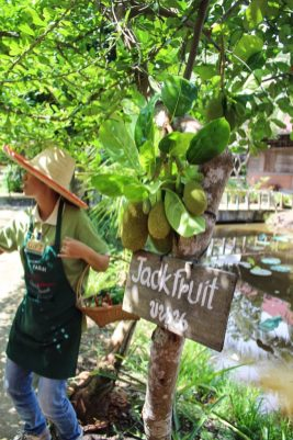 Jackfruit growing at the farm