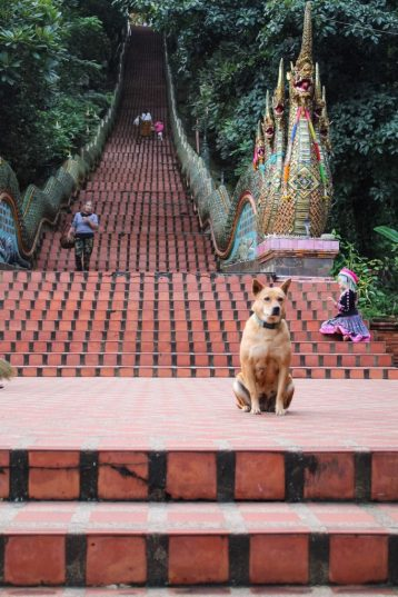 Dog guarding the Naga Staircase Wat Phra That Doi Suthep Chiang Mai