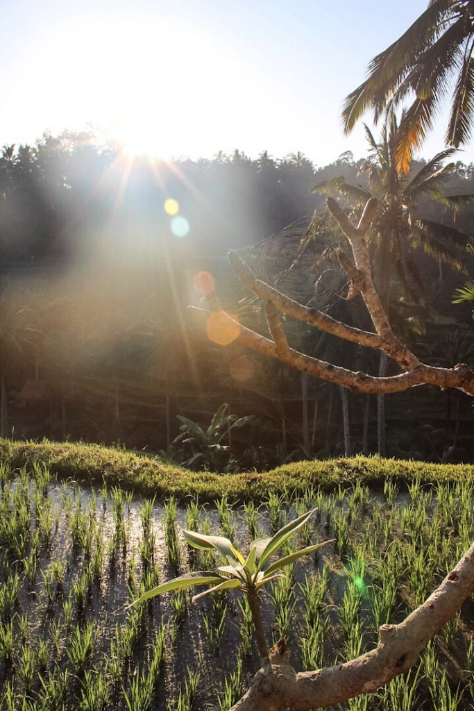 Spider web with sunlight coming through the trees Tegalalang Rice Terraces Ubud Bali