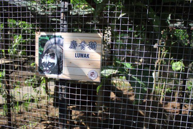 Luwak cat at Kampung Kopi Coffee Plantation Ubud Bali