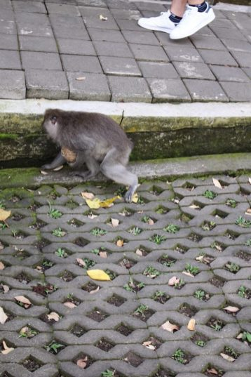 Monkey with a coconut monkey forest ubud bali