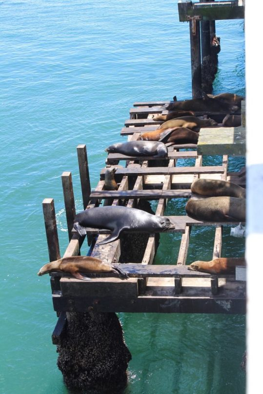 Sea lions in Santa Cruz, California