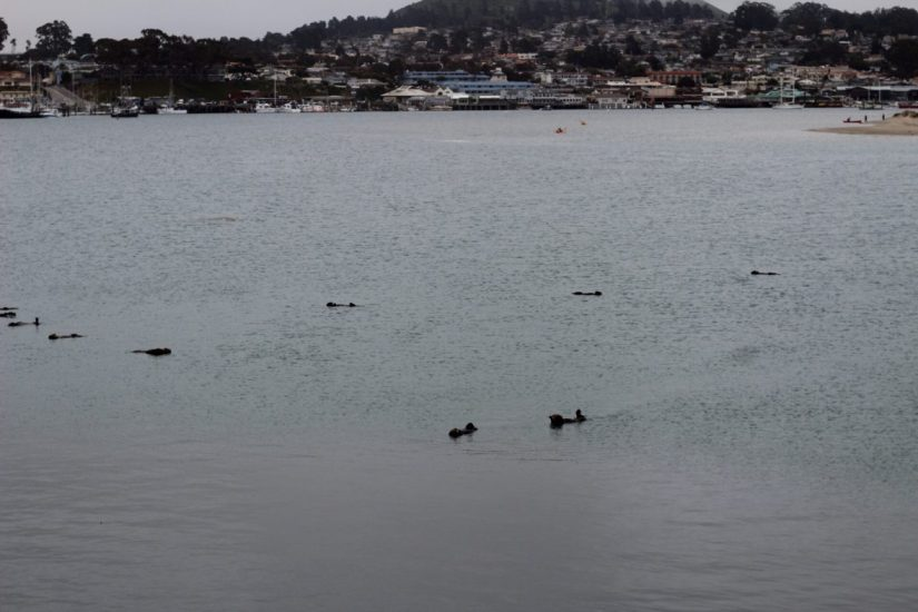 Otters swimming at Morro Bay in California