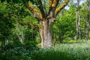 Träd på ängen