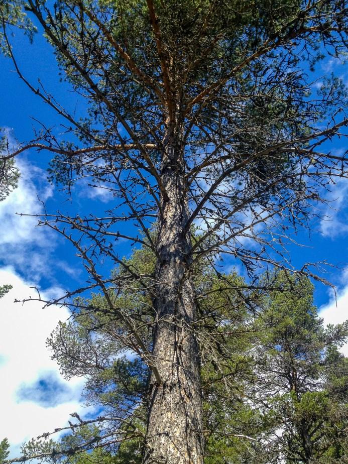 Träningsträd Vålådalen