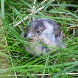 Fågelunge i gräset