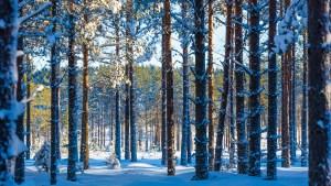 Tyst skog i januari.