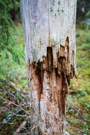 Gamla träd i naturreservatet