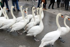 21 Swans waddling down the road.