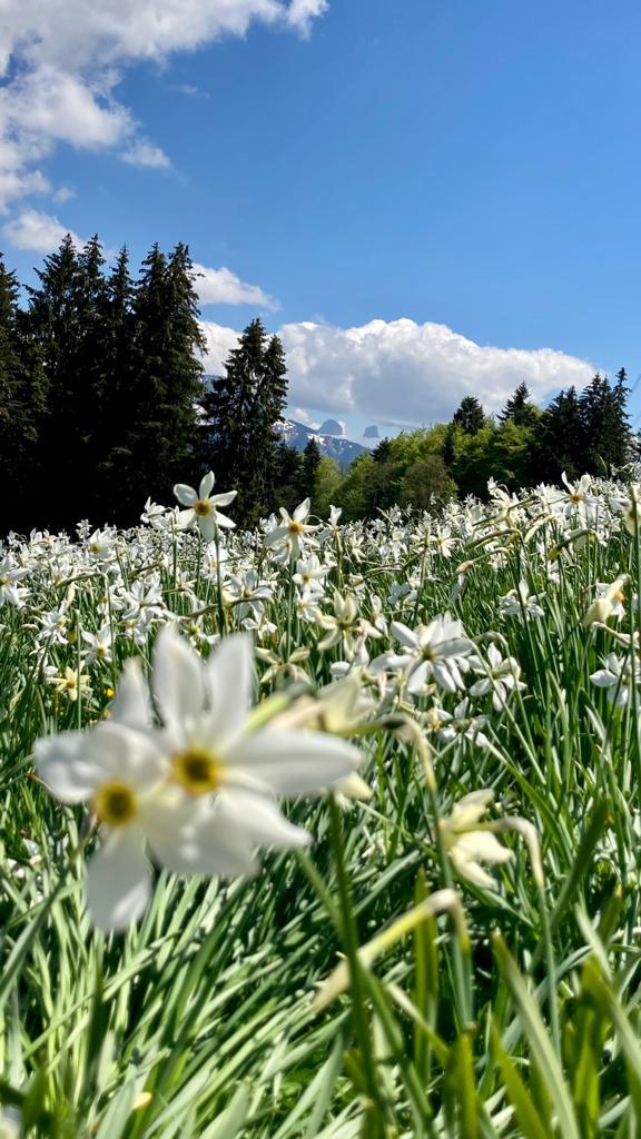 Narcissi Pléiades Montreux Vevey