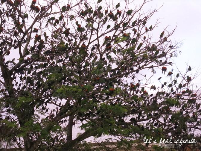 Cairns - L'arbre aux oiseaux multicolores