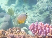 Grande Barrière de Corail - Poisson à rayures jaunes