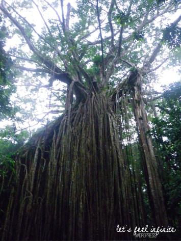 Curtain Fig Tree - Sommet