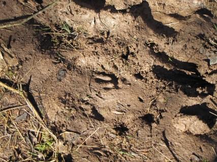 animals tracks in the mud