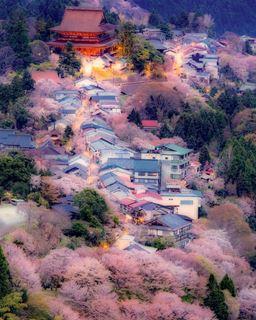 吉野山櫻花