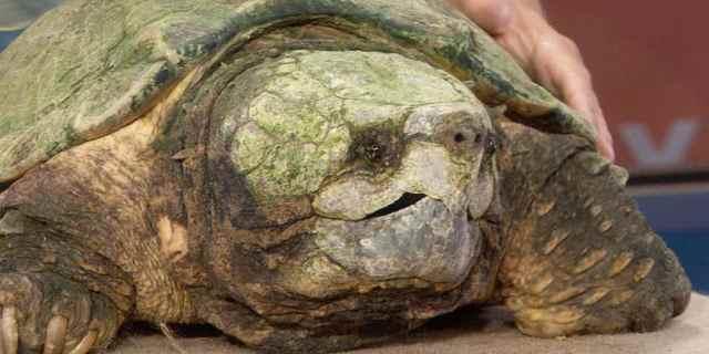 tortue trisomique