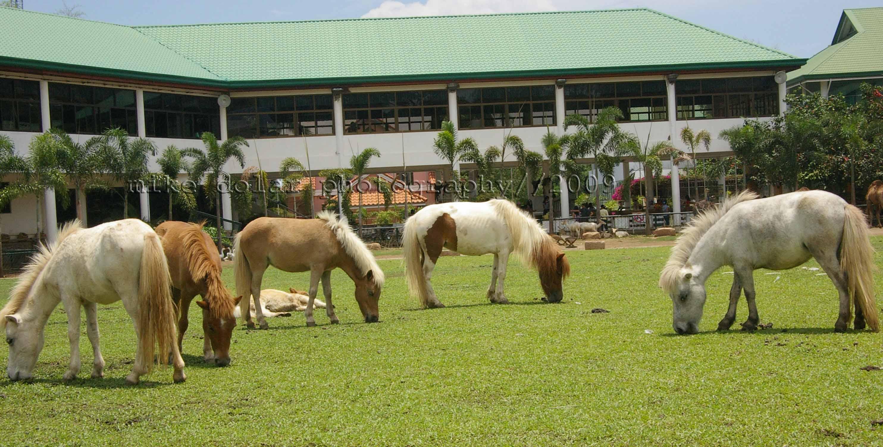 mini horses grazing at the grass