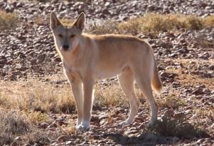 Curious Dingo