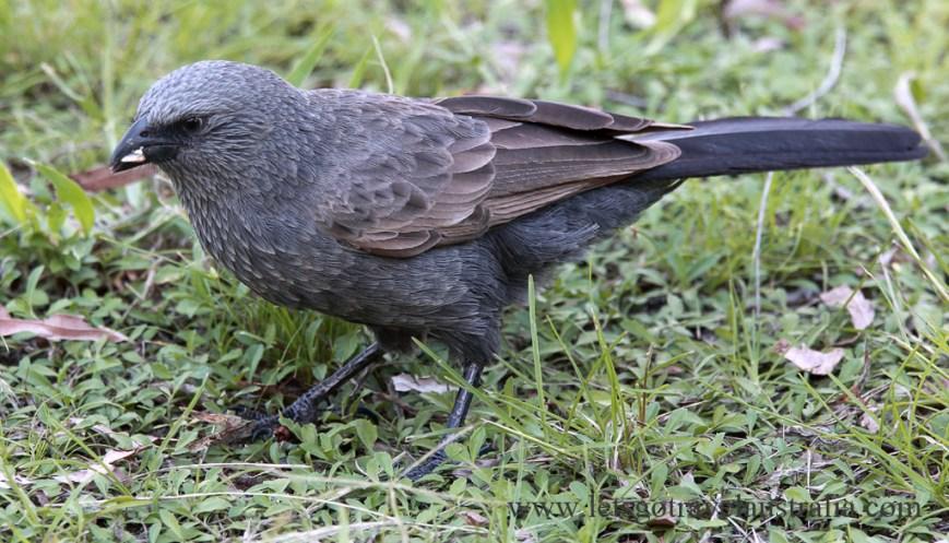 Apostle-Bird