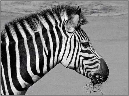 Common-Zebra