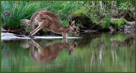 Kangaroo-Crossing