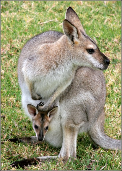 Wallaby Family