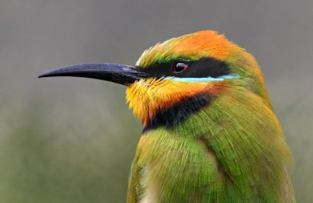 Web Rainbow Bee-eater