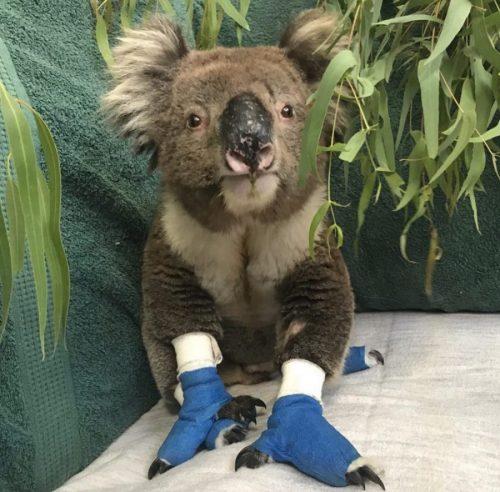 Australian Bushfires: How to donate to wildlife in need