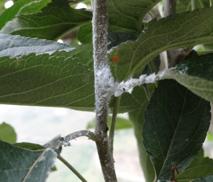 WOOLY APPLE APHID