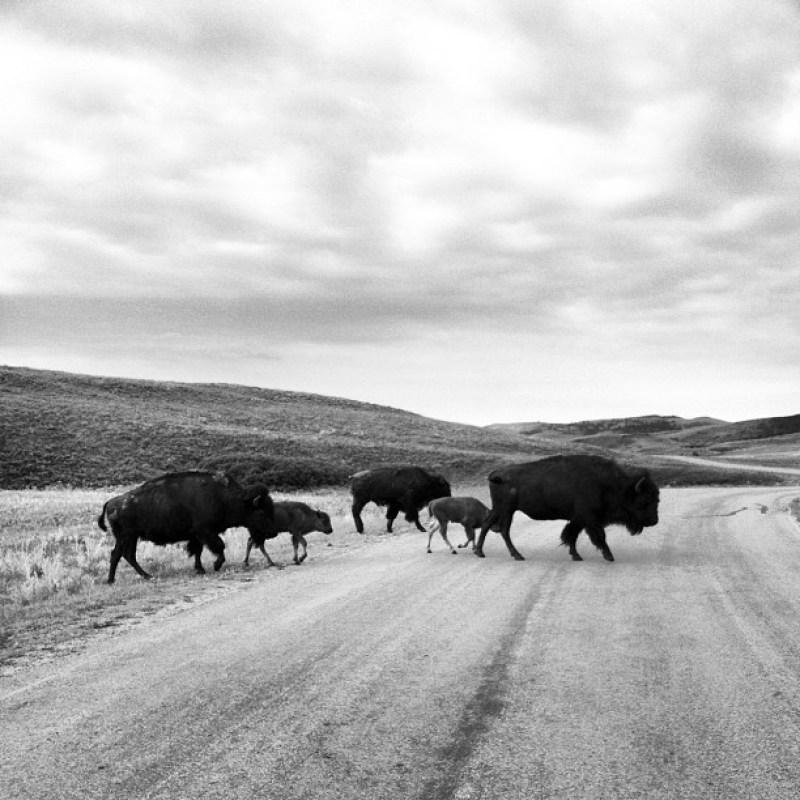 The Secrets of Custer State Park's Wildlife Loop