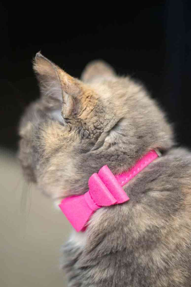 Loving these ten tips on how to capture a cat portrait. With these simple suggestions, you can rock pet photography using a DSLR camera or a smartphone. #petphotography #catportraits #photography #cat #kittycat #tortiecat #tortiecats *Don't underestimate the power an adorable pink-bow collar. So cute!!