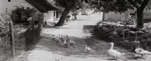 picture of Hungarian geese