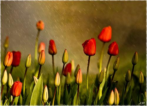 tulips-by-kuzeytac