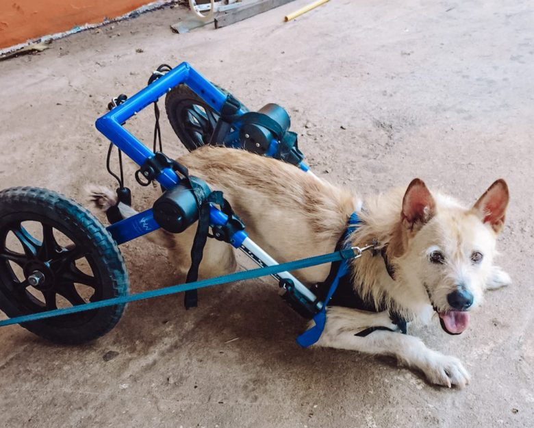 a rescue dog that lost it legs but can now live happy at Rescue paws in Hua Hin, Thailand.
