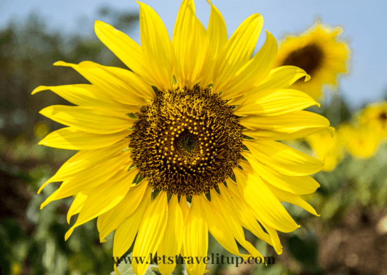 Sunflower with beautiful yellow pedals