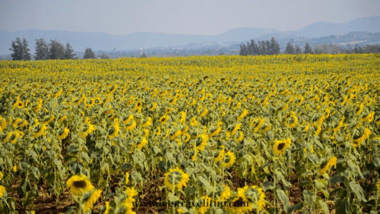 One thing to do in Khao Yai Thailand is to visit the sunflower farm