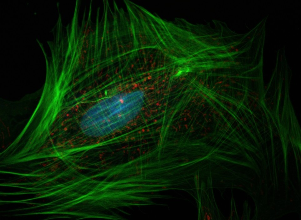 A confocal microscopy image of a fibroblast showing the football-shaped nucleus (blue), dots of mitochondria (red), and wispy strands of the actin cytoskeleton (green), all against a black background